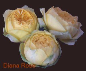 Դեղին պիոնանման փնջային վարդ