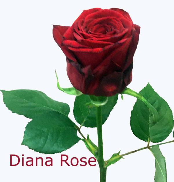 Կարմիր վարդ 70 սմ